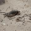 Hatteras, NC-crab @ Pamlico Sound-06012010-113144(f)