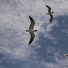 Black-headed Gull (from ferry)-06032010-144259