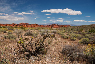 Cactus Bush at Valley of Fire State Park