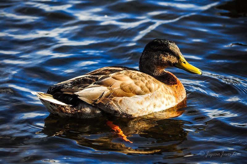 Ducks at Back Lake