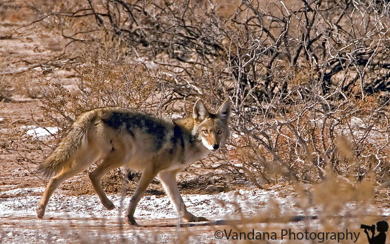 Coyote at Bosque Del Apache National Wildlife refuge, New Mexico