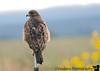 Hawk in Las Vegas National Wildlife Refuge, New Mexico