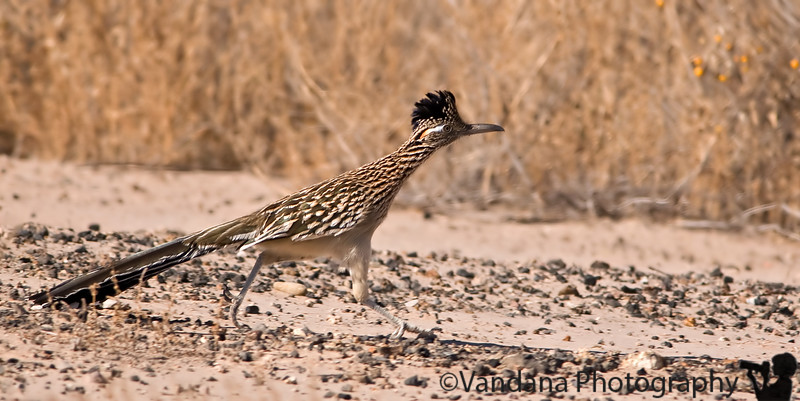 the roadrunner, the state bird of New Mexico