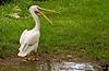 A pelican, Clovis, New Mexico