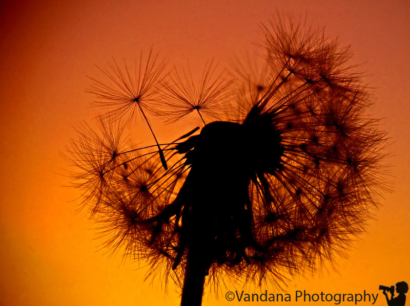 Dandelion sunset, Clovis, New Mexico