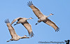 Sandhill cranes fly in formation at Bosque Del Apache NWR, New Mexico