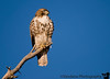 Hawk at Bosque Del Apache National Wildlife refuge, New Mexico