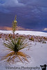 May 26, 2007 - Cactus in the storm<br /> <br /> in White Sands National Monument, NM
