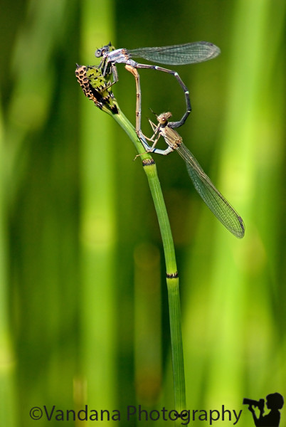 dragonflies make out, Fort Sumner state Park, Ft.Sumner, New Mexico