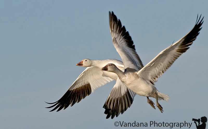 Snow geese take off, Bosque Del Apache National Wildlife refuge, New Mexico
