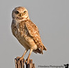Burrowing owl in Ned Houk Memorial Park, Clovis, New Mexico