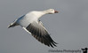 Snow goose in flight, Bosque Del Apache National Wildlife refuge