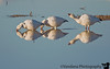 Snow geese reflections, Bosque Del Apache NWR