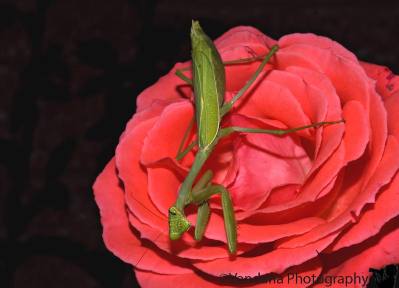 Preying mantis on a rose, Albuquerque Botanical gardens, Albuquerque, New Mexico