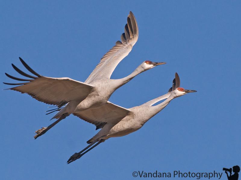 Sandhill cranes at Bosque del apache National Wildlife refuge, near Socorro
