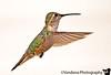 hummingbird in flight, Echo amphitheatre, New Mexico