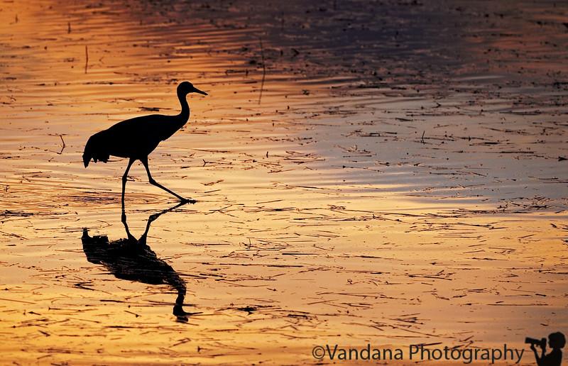 Sandhill crane silhouette, Bosque Del Apache National Wildlife refuge, New Mexico