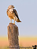 Prairie hawk, Clovis, New Mexico
