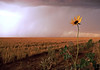 a lone flower in the storm, Clovis, New Mexico