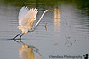 Egret takes flight, Greene Acres Park, Clovis, New Mexico