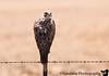 A hawk on the way