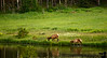 June 30, 2009 - Elk on the lake; Reach and stay at Estes Park, CO