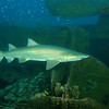 <font size=5><i>Carcharias taurus</i></font> Rafinesque, 1810 <font size=5>Sand Tiger Shark </font> aka grey nurse shark, spotted ragged-tooth shark, or blue-nurse sand tiger   The majority of prey items of sand tigers are demersal (i.e. from the sea bottom), suggesting that they hunt extensively on the sea bottom as far out as the continental shelf. Bony fish (Teleosts) form about 60% of sand tigers food, the remaining prey comprising sharks and skates. In Argentina, the prey includes mostly demersal fishes, e.g. the striped weakfish (Cynoscion guatucupa). The most important elasmobranch prey is the bottom-living smooth-hound shark (Mustelus sp.). Benthic (i.e. free-swimming) rays and skates are also taken. Stomach content analysis indicates that smaller sand tigers mainly focus on the sea bottom and as they grow larger they start to take more benthic prey. This perspective of the diet of sand tigers is consistent with similar observations in the north west Atlantic and in South Africa where large sand tigers capture a wider range of shark and skate species as prey, from the surf zone to the continental shelf, indicating the opportunistic nature of sand tiger feeding. Off South Africa, sand tigers less than 2 m (6 ft 7 in) in length prey on fish about a quarter of their own length; however, large sand tigers capture prey up to about half of their own length. The prey items are usually swallowed as three or four chunks.  Depth 110 feet, on the wreck of the Papoose; off the coast of North Carolina.  © Joseph W. Dougherty, MD.   All rights reserved.