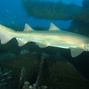<font size=5><i>Carcharias taurus</i></font> Rafinesque, 1810 <font size=5>Sand Tiger Shark </font> aka grey nurse shark, spotted ragged-tooth shark, or blue-nurse sand tiger   The sand tiger shark is a nocturnal feeder. During the day, they take shelter near rocks, overhangs, caves and reefs often at relatively shallow depths (