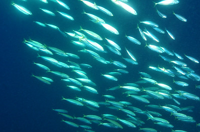 Thick schools of baitfish and young jacks swarm in thick schools on the wreck of the Papoose; depth 90 feet;  off the coast of North Carolina.  © Joseph W. Dougherty, MD.   All rights reserved.