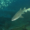 <font size=5><i>Carcharias taurus</i></font> Rafinesque, 1810 <font size=5>Sand Tiger Shark </font> aka grey nurse shark, spotted ragged-tooth shark, or blue-nurse sand tiger   The sand tiger shark can be found in the Atlantic, Pacific and Indian Oceans, and in the Mediterranean and Adriatic Seas. In the Western Atlantic Ocean, it is found in coastal waters around from the Gulf of Maine to Florida, in the northern Gulf of Mexico around the Bahamas and Bermuda, and from southern Brazil to northern Argentina. It is also found in the eastern Atlantic Ocean from the Mediterranean Sea to the Canary Islands, at the Cape Verde Islands, along the coasts of Senegal and Ghana, and from southern Nigeria to Cameroon. In the western Indian Ocean, the shark ranges from South Africa to southern Mozambique, but excluding Madagascar. The sand tiger shark has also been sighted in the Red Sea and may be found as far east as India. In the western Pacific, it has been sighted in the waters around the coasts of Japan and Australia, but not around New Zealand.   Depth 110 feet, on the wreck of the Papoose; off the coast of North Carolina.  © Joseph W. Dougherty, MD.   All rights reserved.