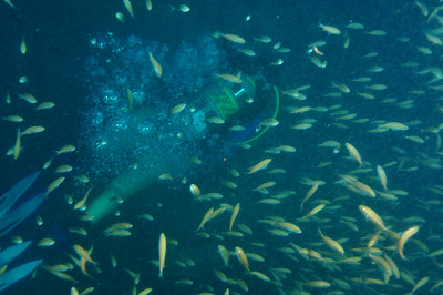 Juvenile Tomtate grunts (Haemulon aurolineatum) surround a scuba diver on the wreck of the Papoose.   Depth 105 feet, off the coast of North Carolina.  © Joseph W. Dougherty, MD.   All rights reserved.