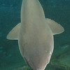 <font size=5><i>Carcharias taurus</i></font> Rafinesque, 1810 <font size=5>Sand Tiger Shark </font> aka grey nurse shark, spotted ragged-tooth shark, or blue-nurse sand tiger   Sand tiger sharks roam the epipelagic and mesopelagic regions of the ocean, sandy coastal waters, estuaries, shallow bays, and rocky or tropical reefs, at depths of up to 190 metres (623 ft).  The head is pointy, as opposed to round, while the snout is flattened with a conical shape. Its body is stout and bulky and its mouth extends beyond the eyes. The eyes of the sand tiger shark are small, lacking eyelids. A sand tiger usually swims with its mouth open displaying three rows of protruding, smooth-edged, sharp-pointed teeth. The males have grey claspers with white tips located on the underside of their body. The caudal fin is elongated with a long upper lobe (i.e. strongly heterocercal). They have two large, broad-based grey dorsal fins set back beyond the pectoral fins. The sand tiger shark has a grey-brown back and pale underside. Adults tend to have reddish-brown spots scattered, mostly on the hind part of the body. In August 2007, an albino specimen was photographed off South West Rocks, Australia. The teeth of these sharks have no transverse serrations (as have many other sharks) but they have a large, smooth main cusp with a tiny cusplet on each side of the main cusp. The upper front teeth are separated from the teeth on the side of the mouth by small intermediate teeth.  Depth 110 feet, on the wreck of the Papoose; off the coast of North Carolina.  © Joseph W. Dougherty, MD.   All rights reserved.