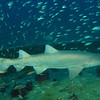 "<font size=5><i>Carcharias taurus</i></font> Rafinesque, 1810 <font size=5>Sand Tiger Shark </font> aka grey nurse shark, spotted ragged-tooth shark, or blue-nurse sand tiger   The sand tiger shark (Carcharias taurus), grey nurse shark, spotted ragged-tooth shark, or blue-nurse sand tiger is a species of shark that inhabits subtropical and temperate waters worldwide. It inhabits the continental shelf, from sandy shorelines (hence the name sand tiger shark) and submerged reefs to a depth of around 191 m (627 ft). They dwell in the waters of Japan, Australia, South Africa, the Mediterranean and the east coasts of North and South America. It is not related to the tiger shark Galeocerdo cuvier; however, it is a cousin of the great white shark Carcharodon carcharias. Despite its fearsome appearance and strong swimming ability, it is a relatively placid and slow-moving shark with no confirmed human fatalities. This species has a sharp, pointy head, and a bulky body. The sand tiger's length can reach 3.0 m (9.8 ft). They are grey with reddish-brown spots on their backs. Shivers (groups) have been observed to hunt large schools of fish. Their diet consists of bony fish, crustaceans, squid, skates and other sharks. Unlike other sharks, the sand tiger can gulp air from the surface, allowing it to be suspended in the water column with minimal effort. During pregnancy, the most developed embryo will feed upon its siblings, a reproductive strategy known as intrauterine cannibalism i.e. ""embryophagy"" or, more colorfully, adelphophagy — literally ""eating one's brother."" The sand tiger is categorized as vulnerable on the International Union for Conservation of Nature Red List. It is the most widely kept large shark in public aquariums owing to its tolerance for captivity.   Depth 110 feet, on the wreck of the Papoose; off the coast of North Carolina.  © Joseph W. Dougherty, MD.   All rights reserved."