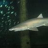 """<font size=5><i>Carcharias taurus</i></font> Rafinesque, 1810 <font size=5>Sand Tiger Shark </font> aka grey nurse shark, spotted ragged-tooth shark, or blue-nurse sand tiger   The sand tiger shark (Carcharias taurus), grey nurse shark, spotted ragged-tooth shark, or blue-nurse sand tiger is a species of shark that inhabits subtropical and temperate waters worldwide. It inhabits the continental shelf, from sandy shorelines (hence the name sand tiger shark) and submerged reefs to a depth of around 191 m (627 ft). They dwell in the waters of Japan, Australia, South Africa, the Mediterranean and the east coasts of North and South America. It is not related to the tiger shark Galeocerdo cuvier; however, it is a cousin of the great white shark Carcharodon carcharias. Despite its fearsome appearance and strong swimming ability, it is a relatively placid and slow-moving shark with no confirmed human fatalities. This species has a sharp, pointy head, and a bulky body. The sand tiger's length can reach 3.0 m (9.8 ft). They are grey with reddish-brown spots on their backs. Shivers (groups) have been observed to hunt large schools of fish. Their diet consists of bony fish, crustaceans, squid, skates and other sharks. Unlike other sharks, the sand tiger can gulp air from the surface, allowing it to be suspended in the water column with minimal effort. During pregnancy, the most developed embryo will feed upon its siblings, a reproductive strategy known as intrauterine cannibalism i.e. """"embryophagy"""" or, more colorfully, adelphophagy — literally """"eating one's brother."""" The sand tiger is categorized as vulnerable on the International Union for Conservation of Nature Red List. It is the most widely kept large shark in public aquariums owing to its tolerance for captivity.   Depth 110 feet, on the wreck of the Papoose; off the coast of North Carolina.  © Joseph W. Dougherty, MD.   All rights reserved."""