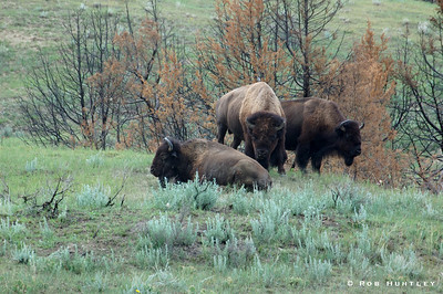 Bison in the North Dakota Badlands, Theodore Roosevelt National Park, North Unit. © Rob Huntley