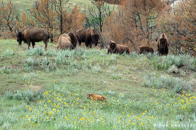 A young bison lies in the foreground with the rest of the herd looking on. This picture was taken in the North Dakota Badlands, Theodore Roosevelt National Park. © Rob Huntley
