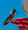 Hummingbird at feeder 1