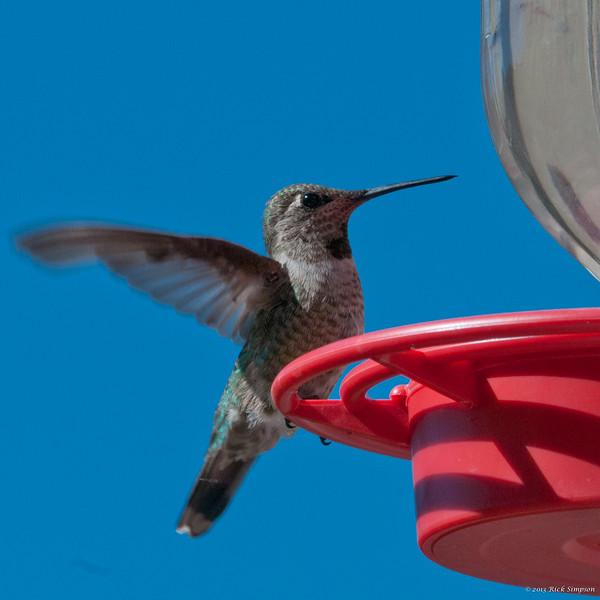 Hummingbird at feeder 2