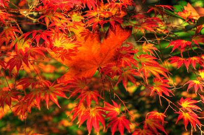 """© Joseph W. Dougherty. All rights reserved.  Fall foliage in southern Oregon.   Native maple leaf caught in the branches of a momiji (Japanese maple).  Momijigari (紅葉狩), from the Japanese momiji (紅葉), """"red leaves"""" or """"maple tree"""" and kari (狩り), """"hunting"""", is the Japanese tradition of going to visit scenic areas where leaves have turned red in the autumn. It is also called kanpūkai (観楓会) in Hokkaidō.  Many Japanese people take part in this, with the cities of Nikkō and Kyoto being particularly famous destinations. The tradition is said to have originated in the Heian era as a cultured pursuit, and is the reason why many deciduous trees can be found in the Kyoto area."""