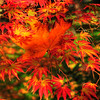 "© Joseph W. Dougherty. All rights reserved.  Fall foliage in southern Oregon.   Native maple leaf caught in the branches of a momiji (Japanese maple).  Momijigari (紅葉狩), from the Japanese momiji (紅葉), ""red leaves"" or ""maple tree"" and kari (狩り), ""hunting"", is the Japanese tradition of going to visit scenic areas where leaves have turned red in the autumn. It is also called kanpūkai (観楓会) in Hokkaidō.  Many Japanese people take part in this, with the cities of Nikkō and Kyoto being particularly famous destinations. The tradition is said to have originated in the Heian era as a cultured pursuit, and is the reason why many deciduous trees can be found in the Kyoto area."