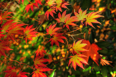"""© Joseph Dougherty. All rights reserved.  Fall foliage in southern Oregon.  Japanese maple (momiji) leaves with their many colors in transition.   Momijigari (紅葉狩), from the Japanese momiji (紅葉), """"red leaves"""" or """"maple tree"""" and kari (狩り), """"hunting"""", is the Japanese tradition of going to visit scenic areas where leaves have turned red in the autumn. It is also called kanpūkai (観楓会) in Hokkaidō.  Many Japanese people take part in this, with the cities of Nikkō and Kyoto being particularly famous destinations. The tradition is said to have originated in the Heian era as a cultured pursuit, and is the reason why many deciduous trees can be found in the Kyoto area."""