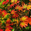 "© Joseph Dougherty. All rights reserved.  Fall foliage in southern Oregon.  Japanese maple (momiji) leaves with their many colors in transition.   Momijigari (紅葉狩), from the Japanese momiji (紅葉), ""red leaves"" or ""maple tree"" and kari (狩り), ""hunting"", is the Japanese tradition of going to visit scenic areas where leaves have turned red in the autumn. It is also called kanpūkai (観楓会) in Hokkaidō.  Many Japanese people take part in this, with the cities of Nikkō and Kyoto being particularly famous destinations. The tradition is said to have originated in the Heian era as a cultured pursuit, and is the reason why many deciduous trees can be found in the Kyoto area."
