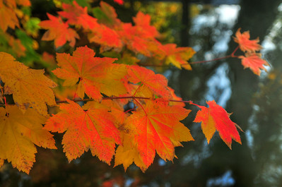 © Joseph Dougherty. All rights reserved.  Fall foliage in southern Oregon.