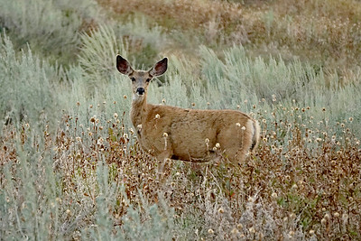 Deer, Mazama WA