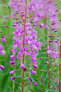 Fireweed, Magnuson Park June 2014