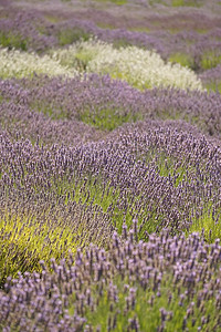 Lavender Fields, San Juan Island 2016