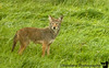 a coyote in Tillamook, Oregon