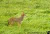 coyote in Tillamook