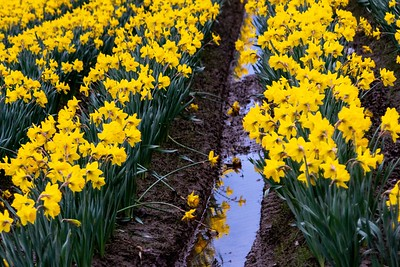 La Connor Daffodils in Washington
