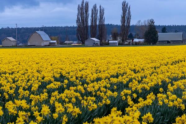 La Connor Daffodils in Washington